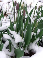 Tulips_in_snow_07