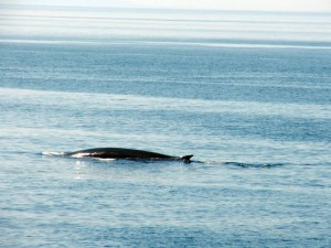 a fin whale, taken with telphoto lens, off the coast of Maine 2013