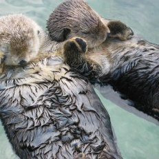 "Sea Otters ""rafting"" (holding hands so they don't drift apart while sleeping)"