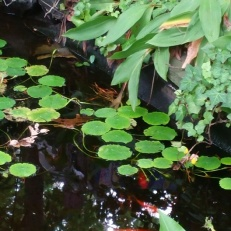pond with goldfish and lilypads