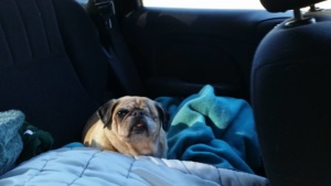 Gracie riding in the backseat.